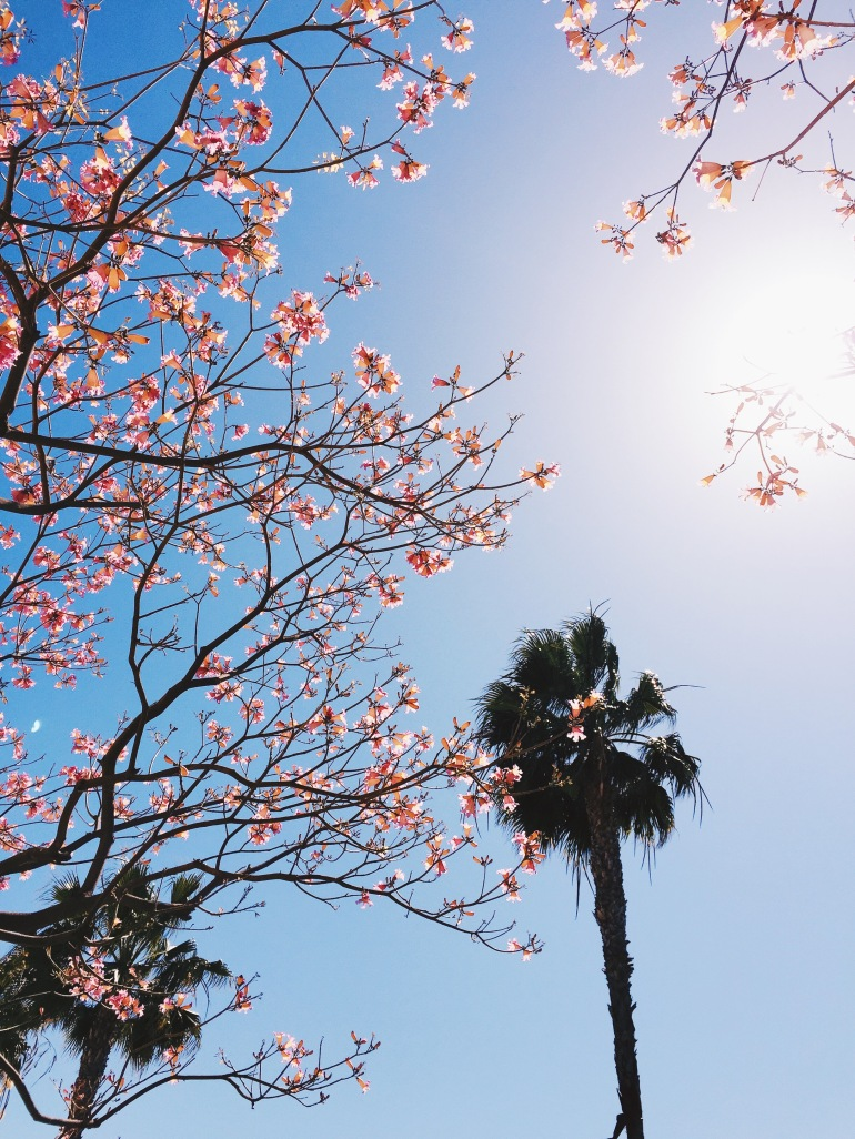 Palm trees and cherry blossoms