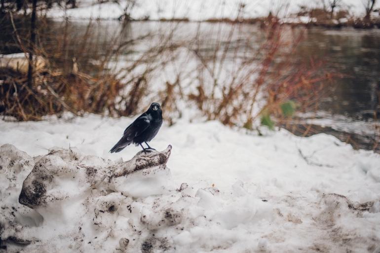 Yosemite crow