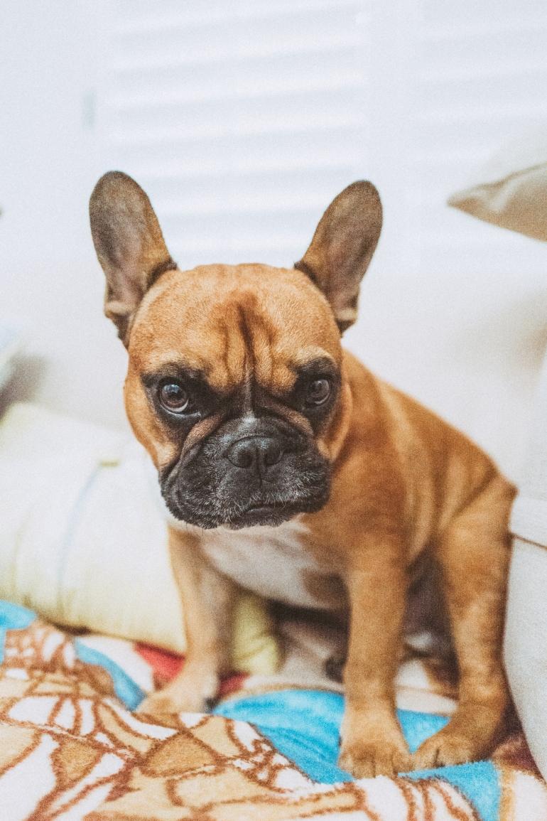 Luke the French Bulldog